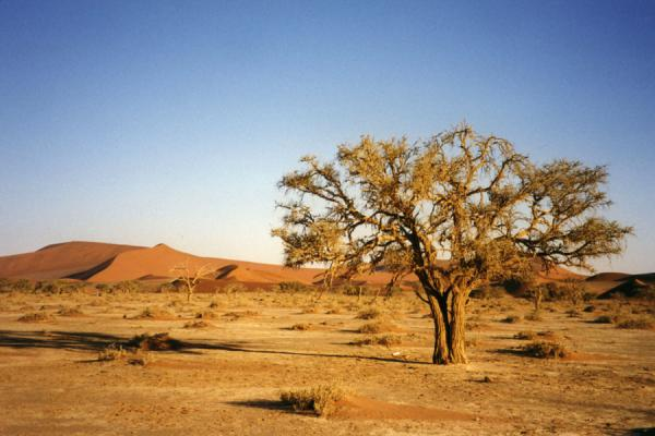 Picture of Namibia (Lone tree with sand dunes in Sossusvlei)