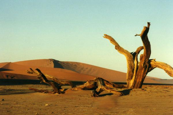 Tree trunk and sand dune in Sesriem | Sesriem | Namibia