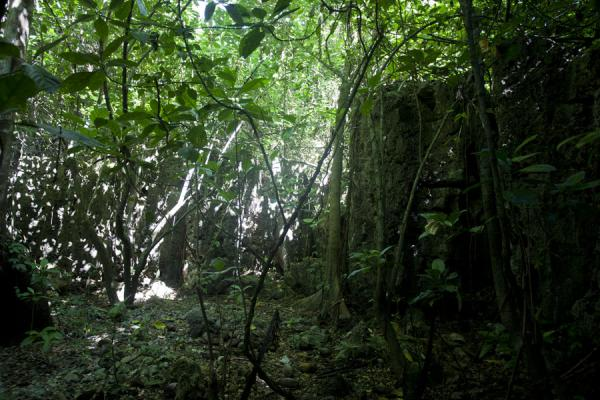 The canopy above spreads a green light in the forest | Hole in the wall hike | Nauru