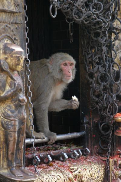 Monkey temple: monkey taking something to eat from offering at Swayambhunath temple | Swayambhunath Temple | Nepal