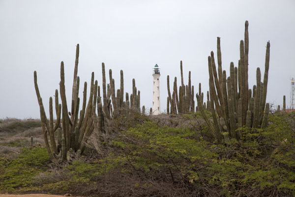 Picture of California lighthouse rising between cacti at Arashi, the northwest point of Aruba