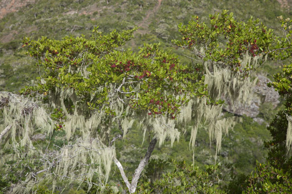 Picture of Christoffelberg (Netherlands Antilles): Beard moss is common on trees around Christoffelberg