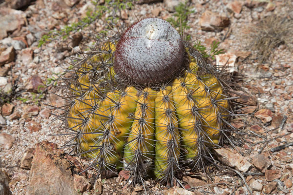 Foto de Close-up of a cactus on the groundChristoffelberg - Antillas holandesas