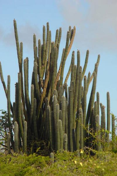 Huge cactus on Curacao | Landcape of Curacao | Netherlands Antilles