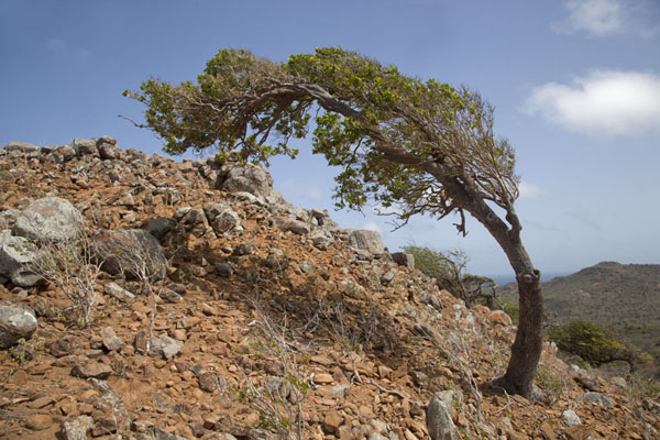 Foto van A tree shaped by the winds near the summit of BrandarisWashington Slagbaai National Park - Nederlandse Antillen