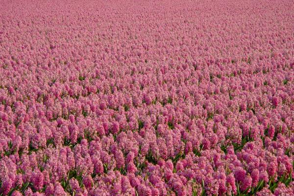 Pink sea of hyacinths | Bulb fields | Netherlands