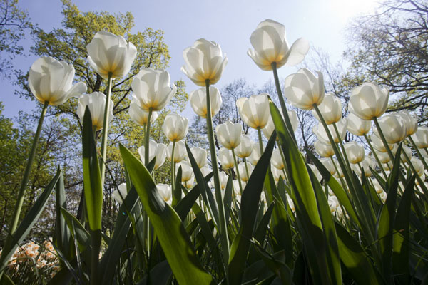 Foto de White, transparent tulips seen from belowLisse - Paises Bajos
