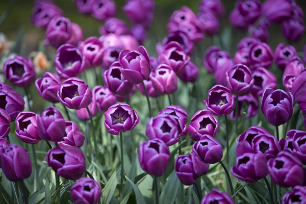 Picture of Field of purple bulb flowersLisse - Netherlands