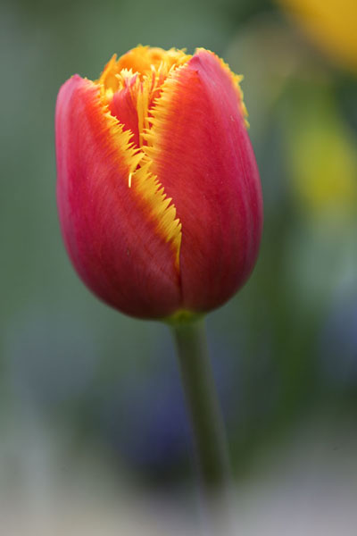 Close-up of a delicately coloured bright red tulip with yellow lining | Keukenhof | Netherlands