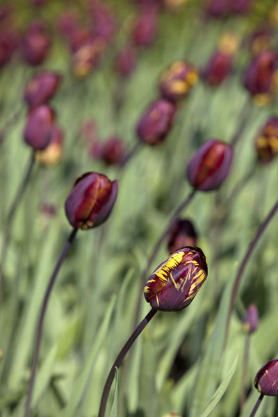 Foto de Dark red and yellow tulips about to openLisse - Paises Bajos