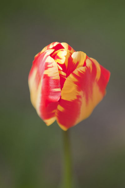 Picture of Tulip about to open up and show its red and yellow interiorLisse - Netherlands