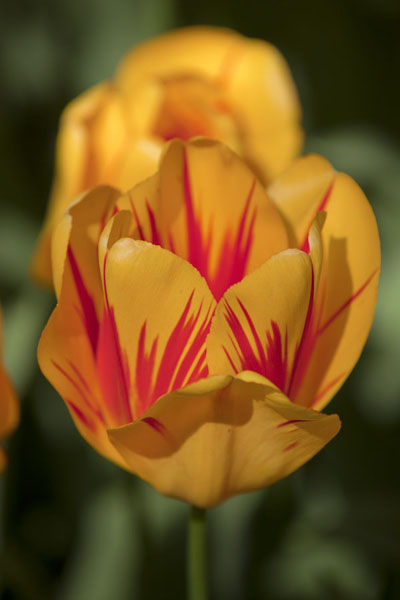 Foto de Red-and-yellow flowering tulipLisse - Paises Bajos