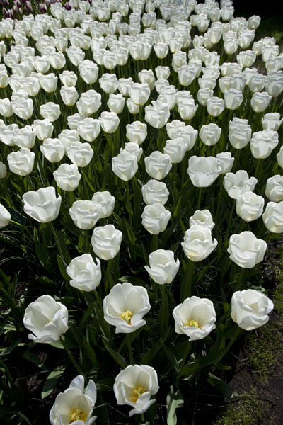 Foto de Looking down on white tulipsLisse - Paises Bajos