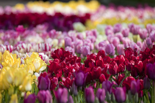 Foto de Mix of colours with various types of tulipsLisse - Paises Bajos