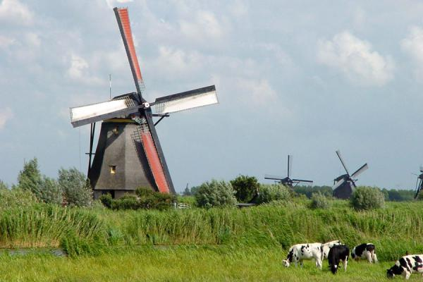 Foto van Windmills and cows at KinderdijkKinderdijk - Nederland