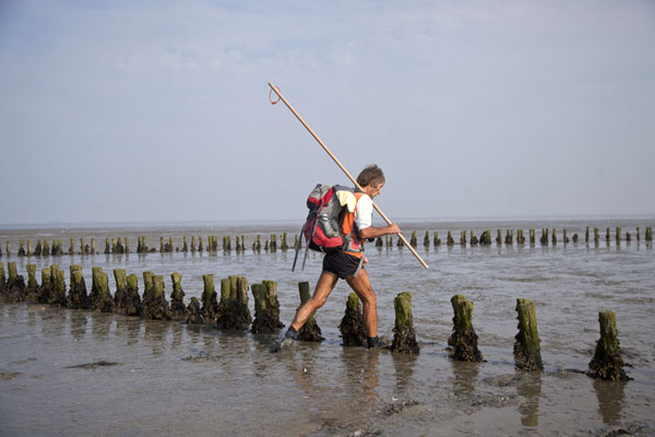 Guide making his way past rows of poles in the mud | Mudflat hiking Ameland | Netherlands