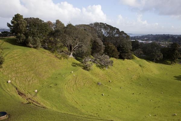 Picture of Auckland Volcanic Field (New Zealand): Sheep roaming on the green slopes of a U-shaped volcanic crater at One Tree Hill