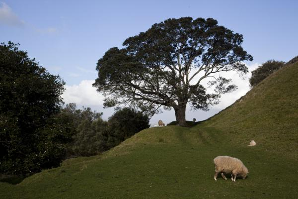 Tree with sheep on One Tree Hill | Terrain volcanique de Auckland | Nouvelle Zélande