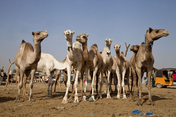The camel section of the cattle market is relatively small | Mercado de ganado de Agadez | Niger