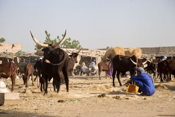 Tuareg men dwarfed by cows with wide horns at the cattle market of Agadez | Mercado de ganado de Agadez | Niger