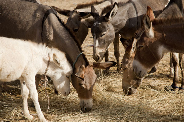 Foto van Donkeys eating straw at the cattle marketAgadez - Niger