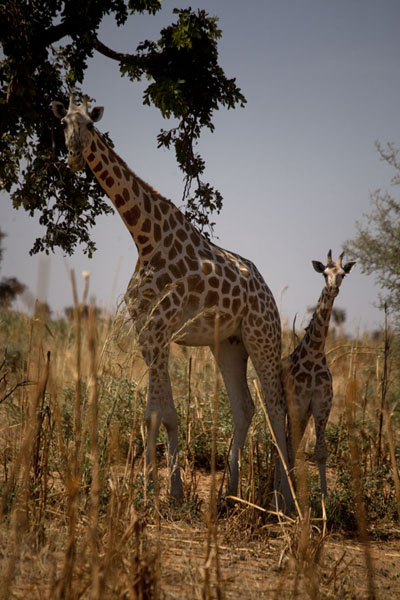 Foto van Adult and young giraffe being cautious about their visitorKouré - Niger