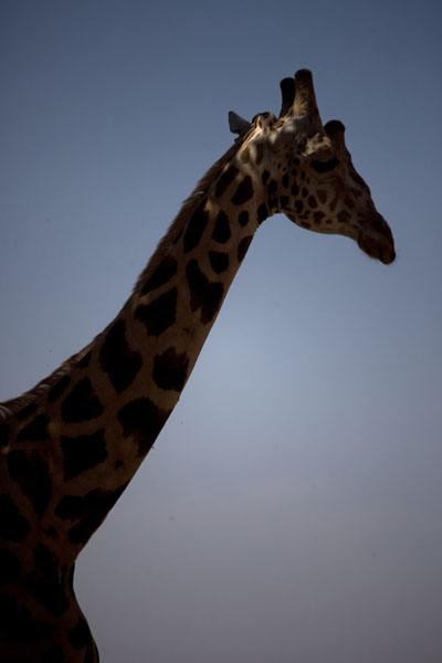 Head and neck of an adult giraffe | Kouré Giraffes | Niger