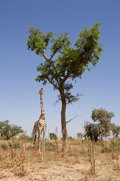 Giraffe reaching up high to eat leaves from a tree | Kouré Giraffes | Niger