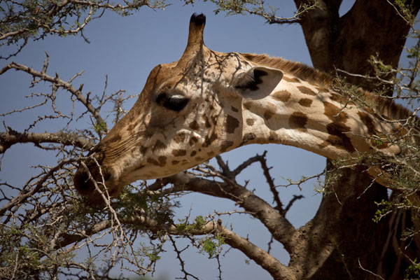 Foto di Close-up of giraffe head in a treeKouré - Niger