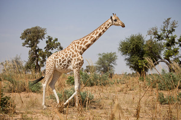 Giraffe walking amidst trees | Kouré Giraffes | Niger