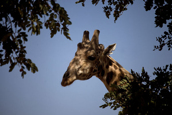 Giraffe head appearing in the opening of a tree | Kouré Giraffes | Niger