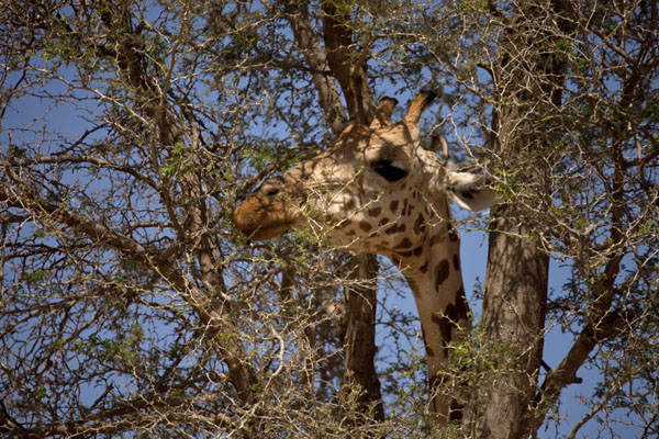 Foto de Close-up of tree with head of a giraffeKouré - Niger
