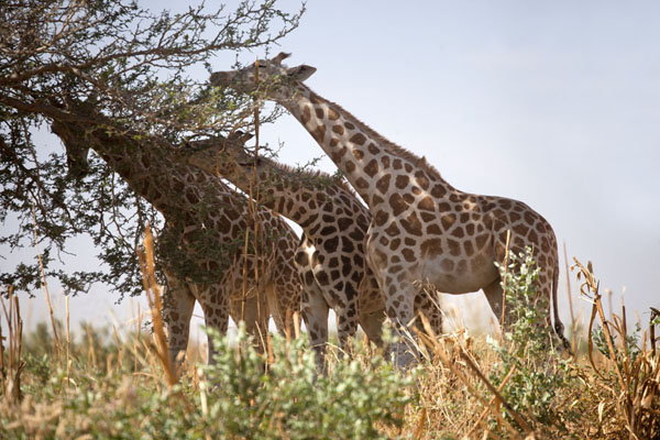 Picture of Three giraffes feeding on a tree