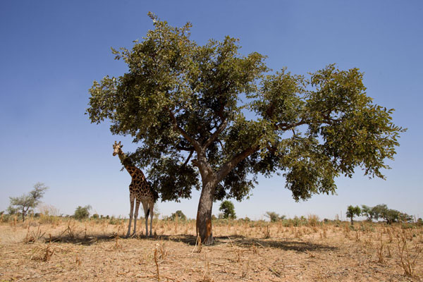 Tree with giraffe | Kouré Giraffes | Niger