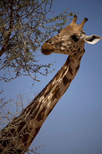 Close-up of the head and neck of an adult giraffe | Kouré Giraffes | Niger