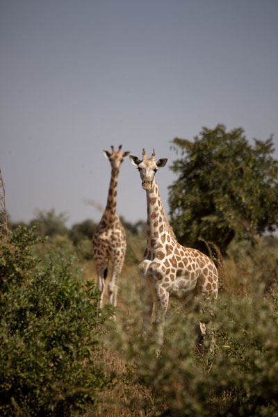 Foto van Two young giraffes looking out for visitorsKouré - Niger