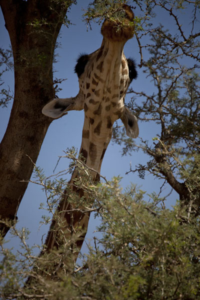 Giraffe reaching out high to eat leaves from a tree | Kouré Giraffes | Niger
