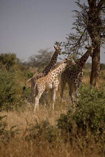 Foto di Three young giraffes getting used to human visitorsKouré - Niger