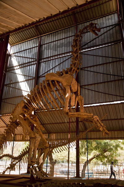 Looking up the skeleton of a dinosaur | National Museum of Niger | Niger