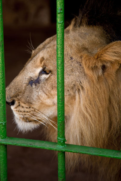 Foto van Lion in a cage in the National MuseumNiamey - Niger