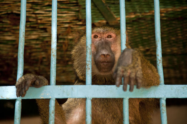 Monkey in a cage in the National Museum | National Museum of Niger | Niger