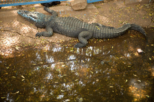 Foto van Crocodile with blue paint in a bassin in the National MuseumNiamey - Niger