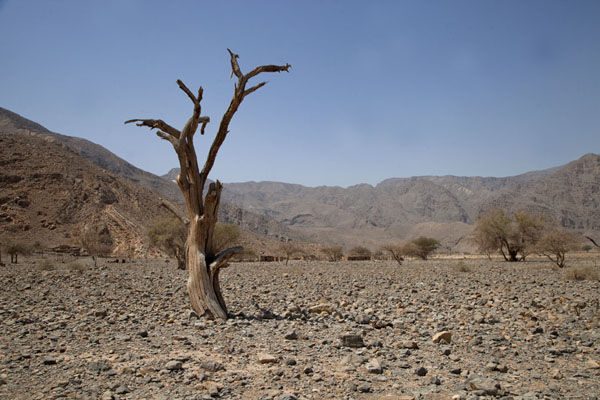 Dead tree in Rawdah Bowl | Musandam mountains | Oman