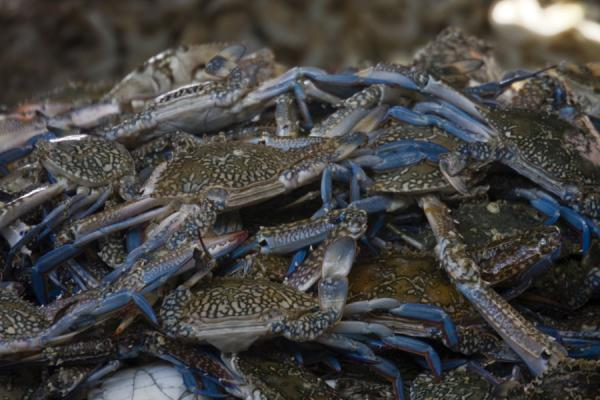 Blue-pawed crabs for sale at the fishmarket | Mutrah Fish Suq | Oman