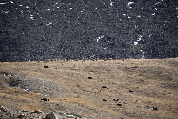 Foto di Herds of yak and ibex can easily be spotted on the slopes near Karakoram HighwayKhunjerab - Pakistan