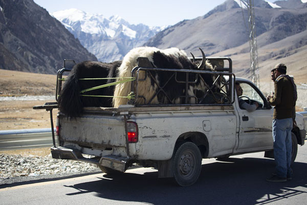 Pickup truck with yak on the Karakoram Highway | Khinjerab Pass | Pakistan