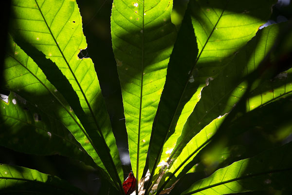 Light shining through the forest on a leaf near the Plantación Trail | Parc national Soberanía | le Panama