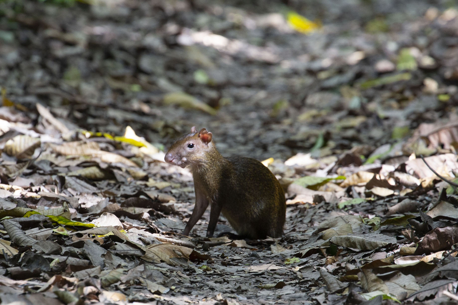 Foto van Agouti sitting on the Camino de PlantaciónSoberanía National Park - Panama