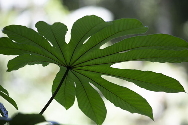 Photo de Leaf in Soberanía NPParc national Soberanía - le Panama