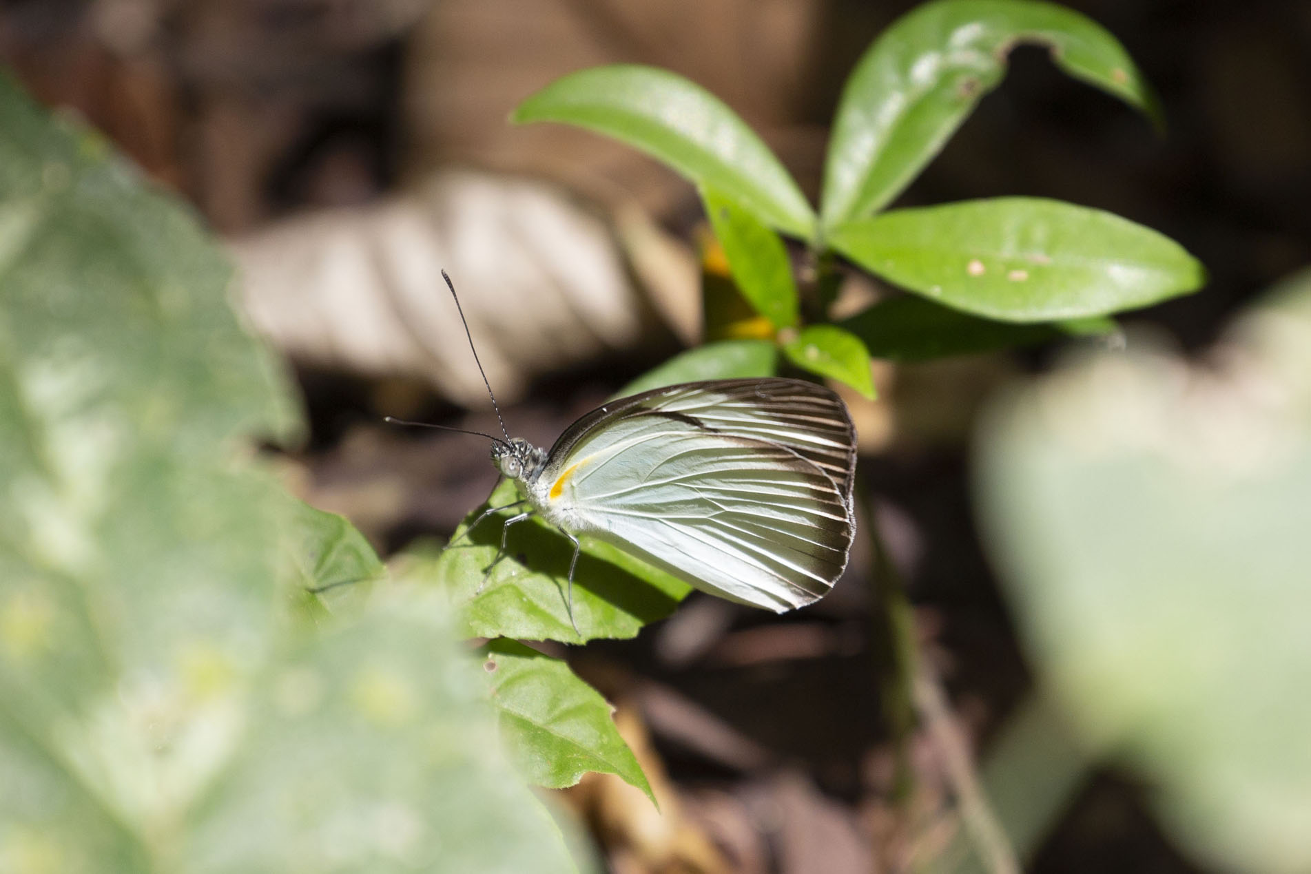 Photo de Butterfly resting in Soberanía NPParc national Soberanía - le Panama